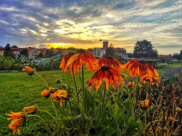 Close-up of orange flowering plants on field against sky during sunset