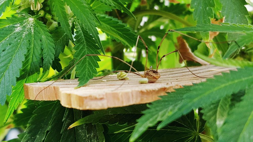 Spider Relocating Good Deed Cannabis Home Insect Photography Capture The Moment Better Look Twice