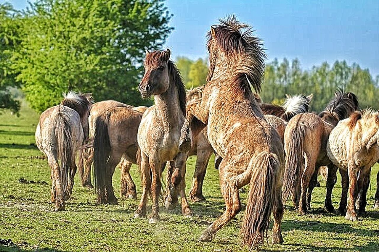 livestock, agriculture, mammal, animal themes, domestic animals, animal, field, outdoors, grass, day, togetherness, rural scene, animal wildlife, grazing, no people, nature, animals in the wild, standing, full length, llama, large group of animals, tree, sky, close-up