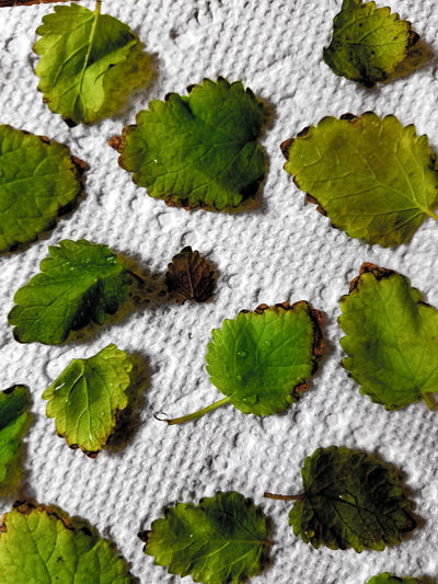 Green Color No People Nature Leaf Close-up Beauty In Nature Lemon Balm Tea Ingredient Texture White Leaves Background Drying Drying Leaves Herbs Herb Paper Towel Close Up Leaf Pattern Leafy Leaves Closeup Freshness Fresh Fresh Herbs  Plant EyeEmNewHere