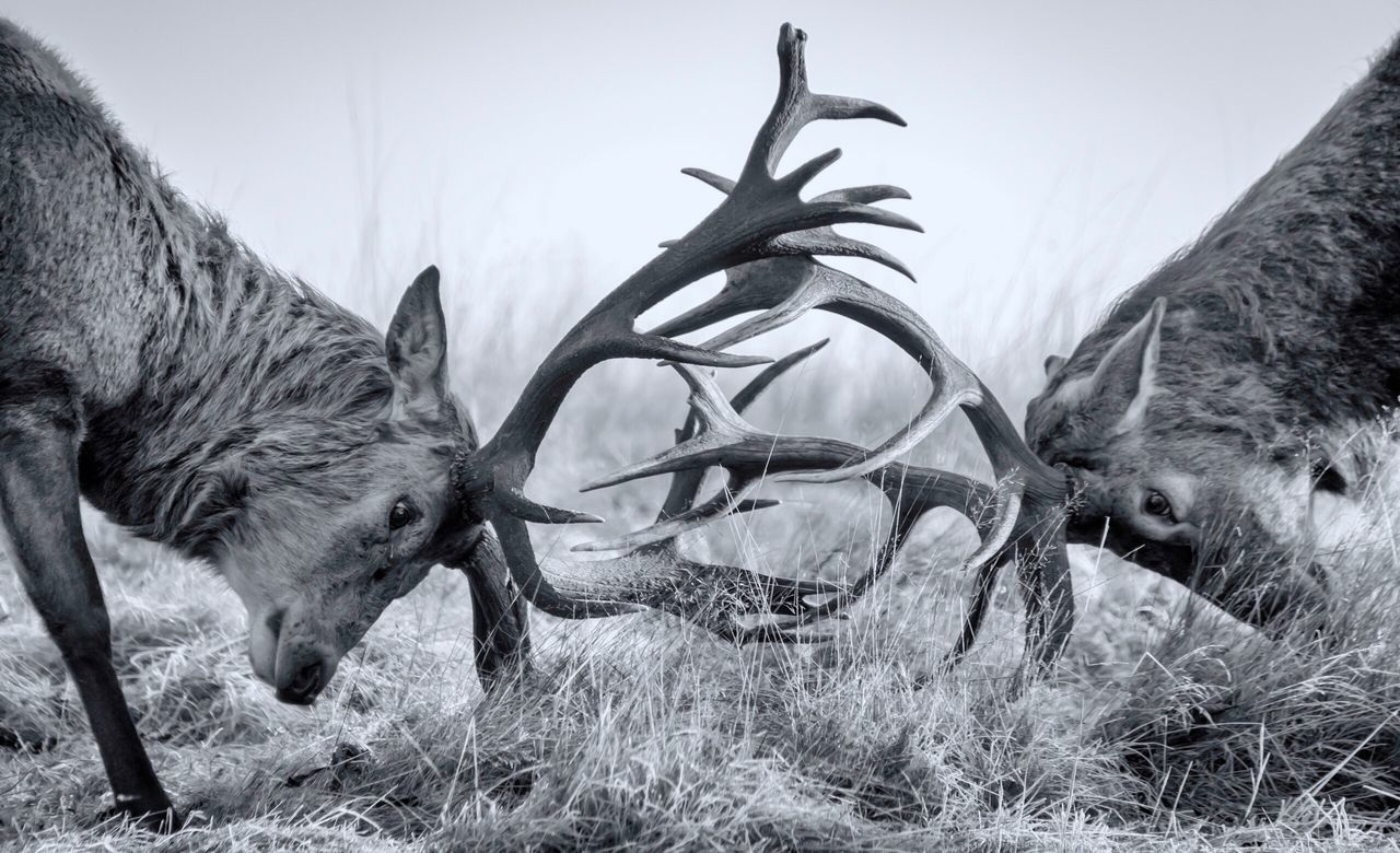 Close-up of two stags fighting
