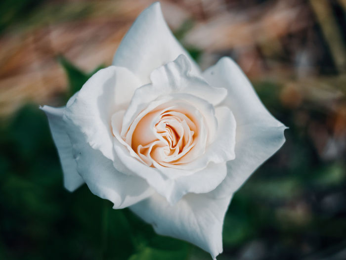 Beauty In Nature Close-up Day Flower Flower Head Flowering Plant Focus On Foreground Fragility Freshness Growth Inflorescence Nature No People Outdoors Petal Plant Rosé Rose - Flower Vulnerability  White Color