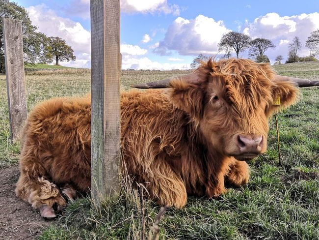Highland Calf Sitting Grazing Highland Cattle Cow Sky Livestock Cloud - Sky Domestic Cattle Cattle Livestock Tag Farm Animal Grazing Herbivorous