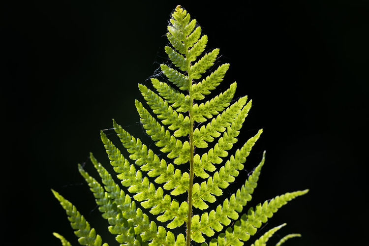 Fern back lit by sun against dark / black background Natural Light Rear View Back Lit Backgrounds Beauty In Nature Black Background Close-up Fern Focus On Foreground Fragility Freshness Green Color Growth Leaf Lime Natural Pattern Nature No People Outdoors Plant Plant Part Selective Focus Simplicity Single Object Vulnerability
