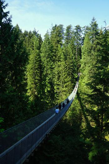 2016 Bridge Canada Capilano Suspension Bridge Forest Green Color Growth Nature Outdoors Sky Tree Vancouver カナダ キャピラノ吊り橋 バンクーバー