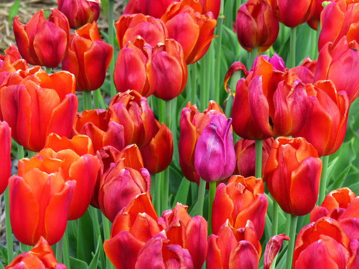 Close-up on bright red tulips in a field during spring time Backgrounds Beauty In Nature Botany Bouquet Bunch Of Flowers Close-up Day Flower Flower Arrangement Flower Head Flowering Plant Fragility Freshness Full Frame Growth Inflorescence Nature No People Outdoors Petal Plant Red Springtime Tulip Vulnerability