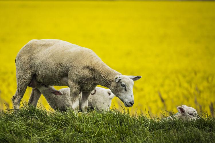 Animal Animal Themes Domestic Animals Field Grass In The Beginning  Lamb Sheep Springtime Yellow Yellow Flower