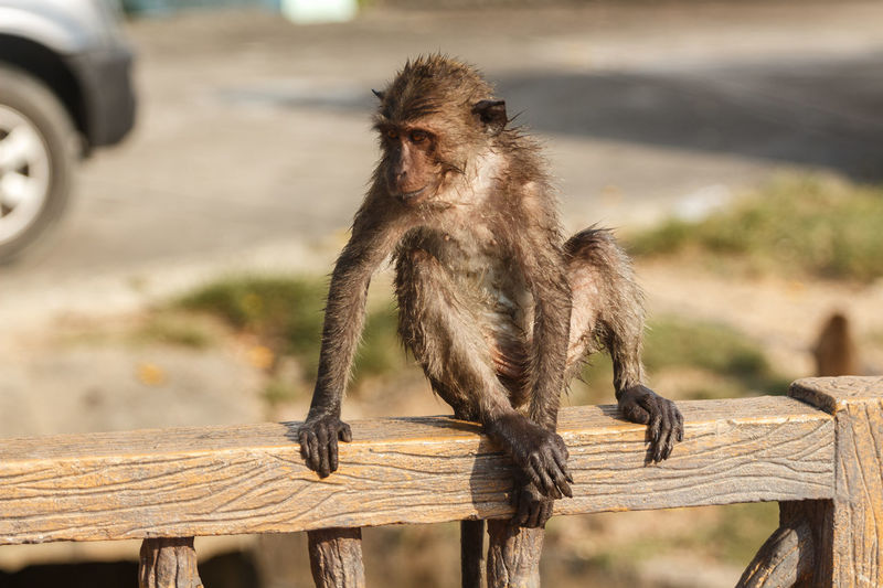 Wet long-tailed macaque sitting on railing in zoo