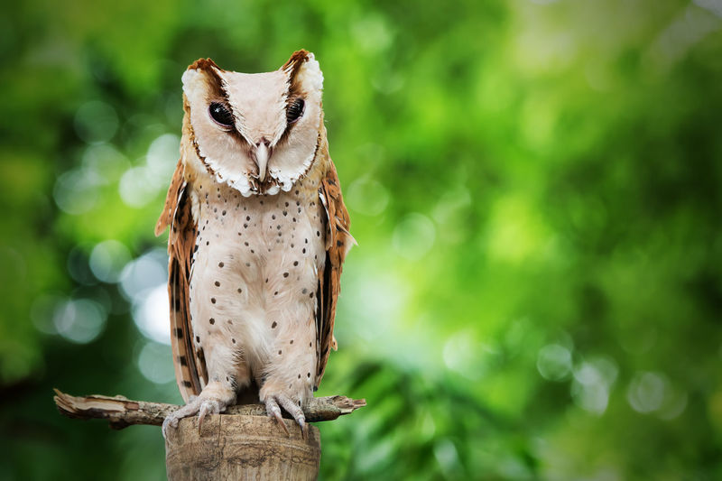 Portrait Of Oriental Bay Owl Perching On Wooden Post