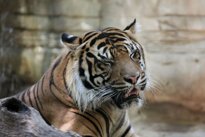 Big cat One Animal Tiger Animal Themes Zoo Animal Wildlife Mammal Outdoors Day No People Close-up Zoophotography Animal
