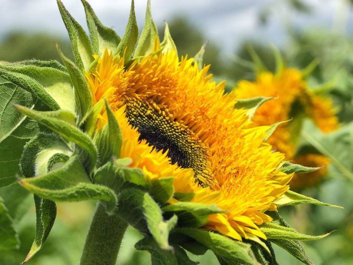 Beauty In Nature Blooming Close-up Day Flower Flower Head Fragility Freshness Green Color Growth Leaf Nature No People Outdoors Petal Plant Sunflower Yellow
