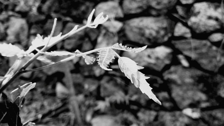 Tender Leaves Neem Mobilephotography Leaf Blackandwhite Blackandwhite Photography Black And White Photography Black&white Nature Photography Flowers,Plants & Garden Eye4photography  EyeEm Gallery Nature_collection EyeEm Best Shots Eyemphotography Naturelovers Nature Beauty In Nature Black & White