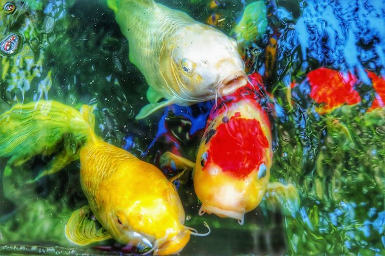 UnderSea Water Sea Life Swimming Multi Colored Underwater Fish Close-up Koi Carp Jellyfish Large Group Of Animals Aquatic Tentacle Swimming Animal Fishes Mute Swan Invertebrate Pond Carp School Of Fish Group Of Animals Floating In Water Aquarium Fish Tank Goldfish Sea Anemone