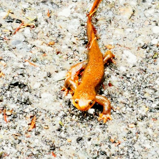 One Animal Animal Themes Animals In The Wild High Angle View No People Animal Wildlife Day Nature Outdoors Close-up Salamander Forest