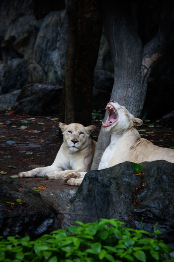 White Lion Animal Animal Looking On You Animal Photography Animals Carnivora Day Domestic Animals Focus On Foreground Growth Lion Mammal Nature No People Rock - Object Selective Focus Stray Animal White Lion Zoo Zoo Animals  Zoophotography