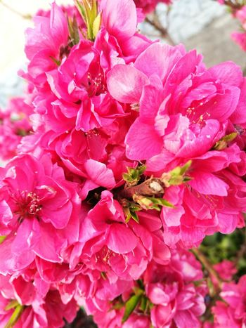 #FirstEyeEmPicture Flower Pink Blossom Peach Blossom Close-up Beauty In Nature Beautiful