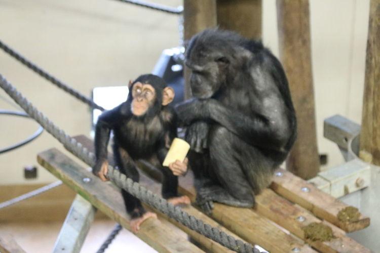 Primate Ape