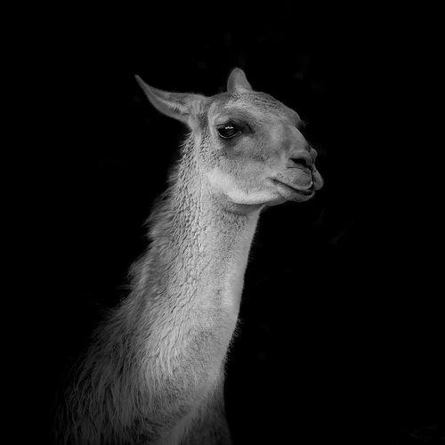 Alpaca against black background