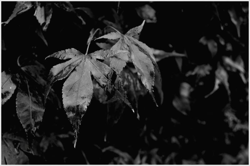 Autumn Leaf Outdoors Nature Change Day Focus On Foreground Beauty In Nature Landscape Plant Fragility Autumn Textured  Scenics Tree Branches Of Trees Kirriemuir Countryside black and white