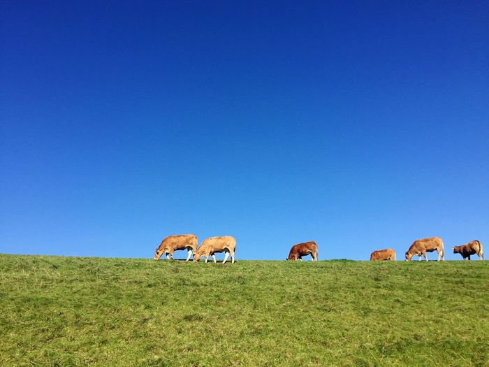 Cows Grazing On Grassy Field Against Clear Blue Sky