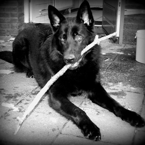 Mijn vriendje james Duitse Herder Hond Dog Black German Shepherd