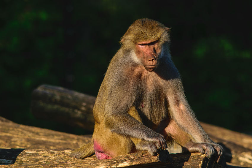 Monkey in the morning sun Nahaufnahme Pavian Strenger Blick Beobachtend Lookng At Camera Affe Sitzend Licht Und Schatten Baboon Morning Sun Strict Look Light And Shadow Monkey Sitting Close-up Primate