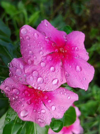 Water Droplets LG V30 Pretty In Pink Flowers For My Friends Morning Light Nature_collection Not My Garden Good Morning Sunshine Macro_collection Macro Beauty Flower Head Flower Water Pink Color Petal Drop RainDrop Wet Close-up Plant In Bloom Plant Life
