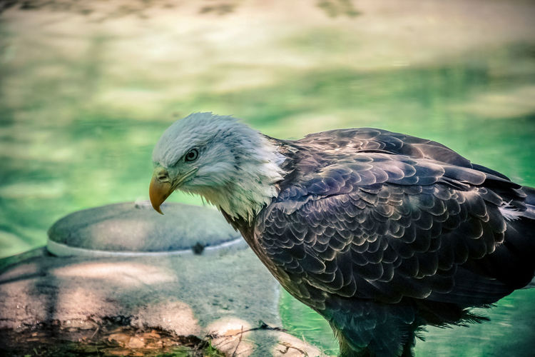 Close-Up Side View Of An Eagle