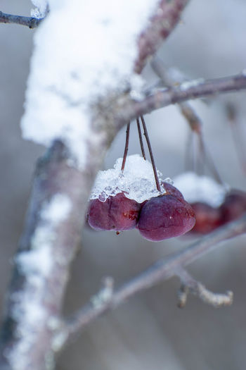 Close-up of frozen fruit on tree during winter
