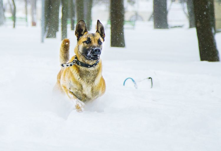 Belgian Shepherd Standing On Snow Covered Field