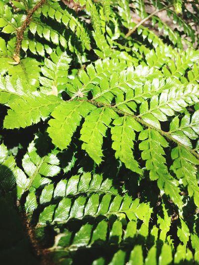 Unfurling Fronds Fern Green Color Leaf Growth Plant