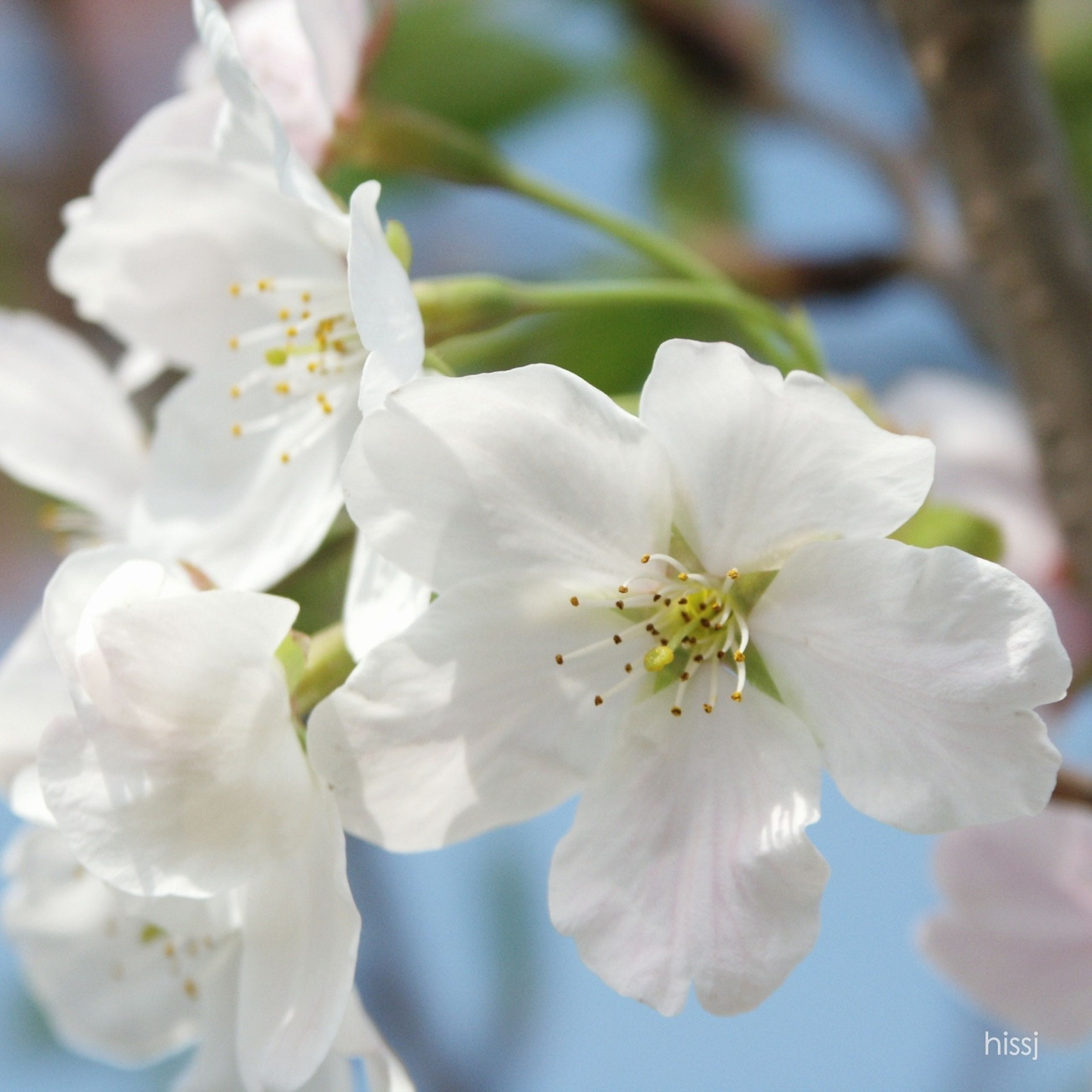 flower, freshness, petal, white color, fragility, growth, flower head, focus on foreground, beauty in nature, close-up, nature, blooming, blossom, stamen, cherry blossom, pollen, in bloom, white, tree, park - man made space