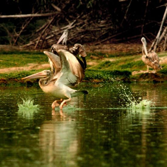 GreyPelican SpotBillPelican Vedanthangal Bird Sanctuary  Chennai Nature