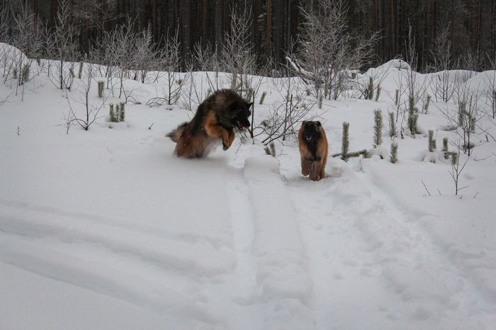 EyeEm Ready   Beauty In Nature Snow Cold Temperature Winter Animal Themes Dog Weather Nature Outdoors Beauty In Nature Finland Forest Lapland (null)Belgian Shepherd Tervueren Landscape Snow ❄ The Traveler - 2018 EyeEm Awards