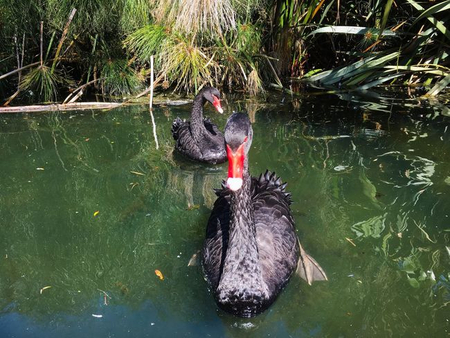Black Swan Water Lake Swimming Day Animals In The Wild Nature Vertebrate Animal Animal Wildlife Animal Themes Outdoors Reflection High Angle View Waterfront No People