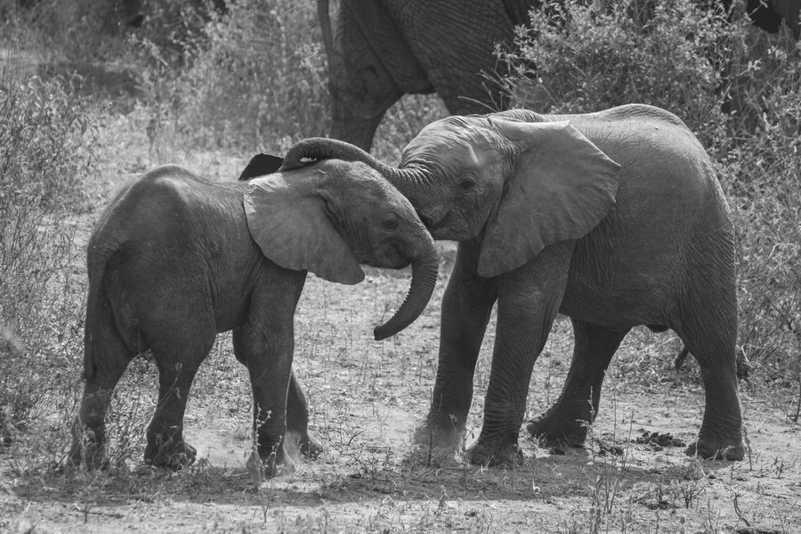 Animal Themes Animal Trunk Animals In The Wild Baby Elephant Baby Elephants Playjng Day Elephant Elephant Calf Field Mammal Nature No People Outdoors Standing Togetherness Tree Young Animal