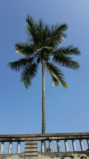 Standing like a Boss Beauty In Nature Blue Sky's Branch Clear Sky Coconut Coconut Tree Growth Low Angle View Nature Outdoors Palm Palm Tree Pine Pine Tree Potrait Protection Safety Scenics Structure Summer Tranquil Scene Tranquility Tree Tree Trunk Tropical Climate