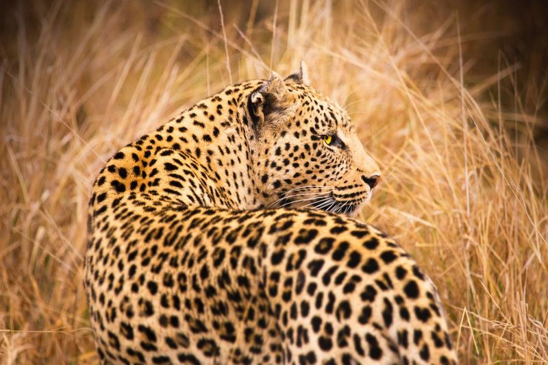 Leopard looking away by grass