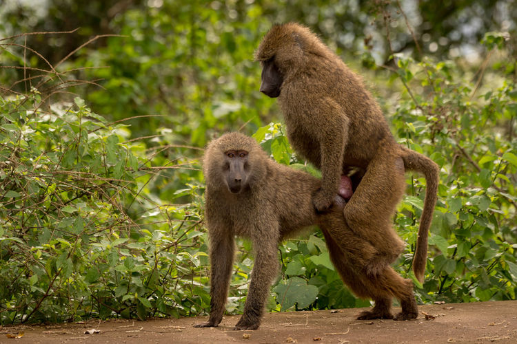 Nature Tanzania Travel Africa Animal Animal Family Animal Themes Animal Wildlife Animals In The Wild Baboon Care Day Forest Green Color Group Of Animals Mammal Monkey Nature No People Olive Baboon Outdoors Plant Primate Safari Togetherness Tree Two Animals Vertebrate Wildlife Young Animal
