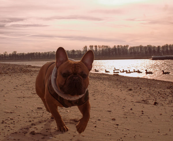Bootsmann - NauticBoyz Sonya6000 Hundefotografie Duesseldorf Pfotengraphie Französischebulldogge NRW Tierfotografie Fotografie Duesseldorferhunde Hunde Frenchies EyeEm Selects Dog Animal Pets Bulldog Domestic Animals One Animal Animal Themes Looking At Camera Sand Outdoors Nature Sky