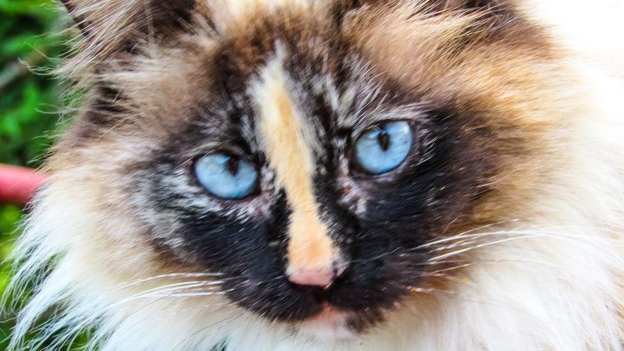 cats eyes Blue