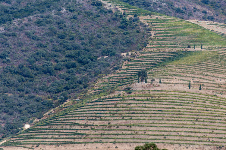 Vineyards and olive trees on banks of Douro River in Portugal, the oldest wine region in the world. Douro  Portugal Aerial View Agriculture Beauty In Nature Crop  Environment Farm Field Green Color Growth High Angle View Land Landscape Nature Outdoors Plant Plantation Rural Scene Scenics - Nature Tranquil Scene Tranquility Tree Vineyard Wine