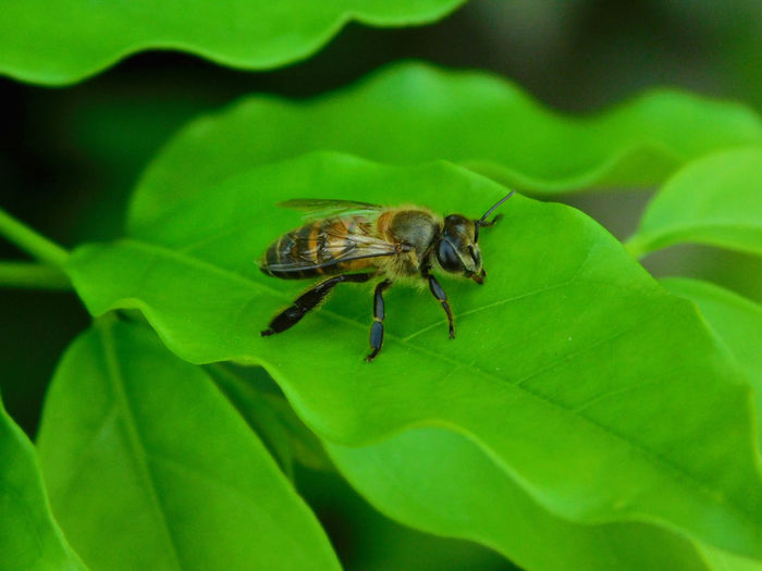 Bee on the leafs Bee Close-up Day Green Color Growth Insect Insect In The Worl Insect Theme Leaf Nature No People On Insect Outdoors Plant