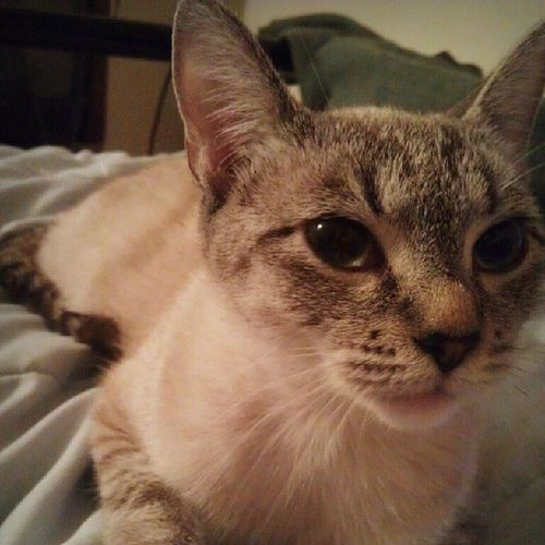ELovesCats this is my little Halo...she's an 8 month old Siamese