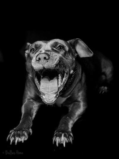 Close-up of dog with mouth open against black background