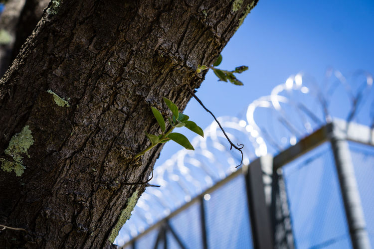 New leaf razor wire Animal Themes Architecture Building Exterior Built Structure Close-up Day Low Angle View Nature No People Outdoors Prison Razor Wire Sky Tree Tree Trunk
