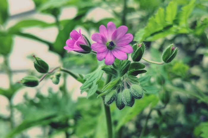 Dainty lil flowers Flower Plant Nature Purple Green Color No People Close-up Beauty In Nature Fragility Leaf Flower Head Freshness Love Of Flowers Blooming
