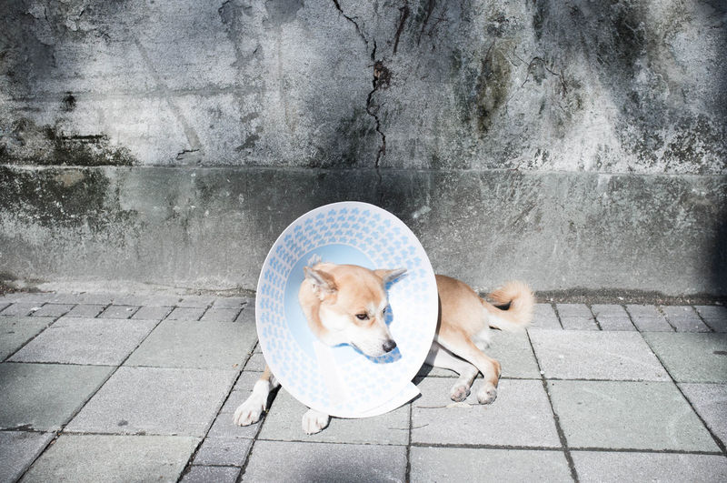 High Angle View Of Dog Wearing Protective Collar Lying On Footpath Against Wall