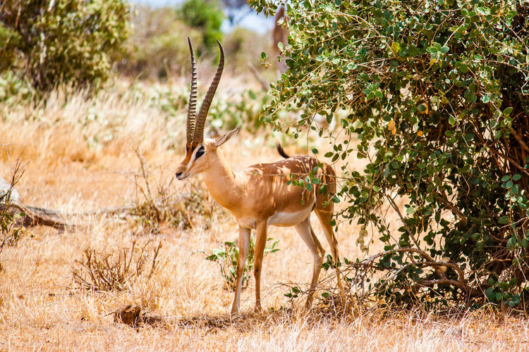 Gazelle standing by plants on field at tsavo east national park