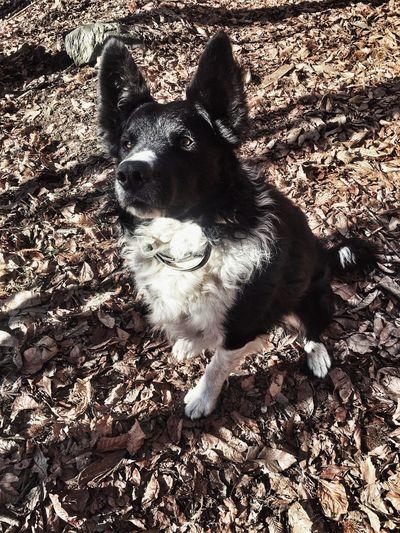 #bordercollie #bosco #wood #winter#2019 One Animal Pets Domestic Animal Dog Nature First Eyeem Photo